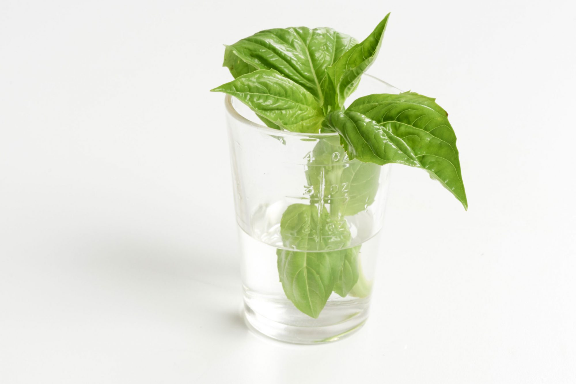 FRESH CUT BASIL IN GLASS CUP WITH WATER ON WHITE BACKGROUND